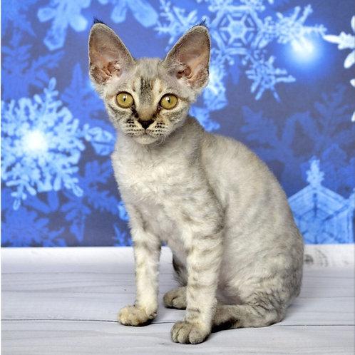 Yu-Zi Devon Rex female kitten in a black silver tabby color