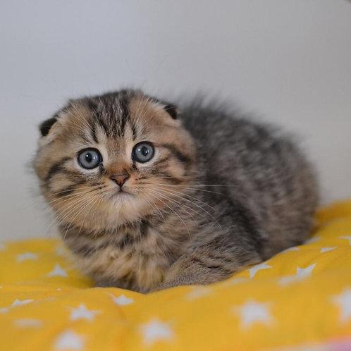 Iris purebred Scottish fold kitten in a black spot color