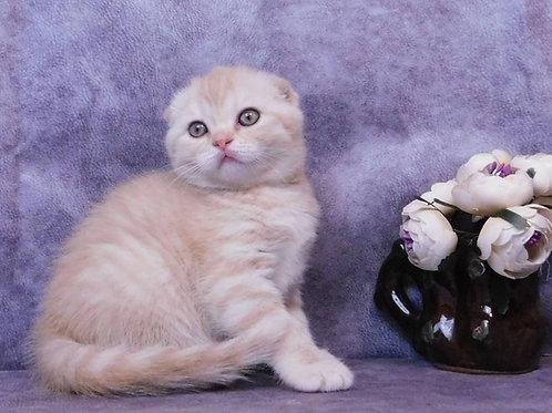 422 Honey    Scottish fold shorthair female kitten
