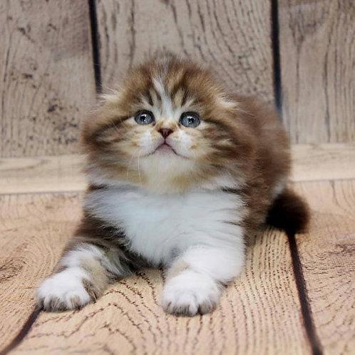 Hugoboss Scottish fold longhair male kitten