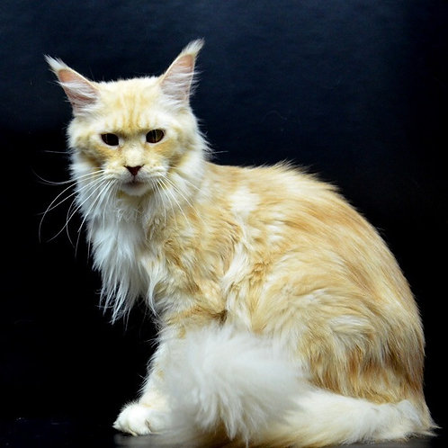 Adel Maine Coon red silver white color female cat