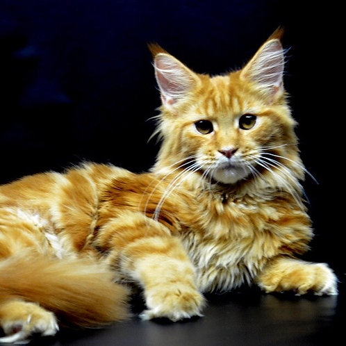 Tanker Maine Coon in a red marble color