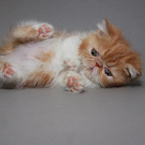 Lola red marble on white color Exotic shorthair female kitten