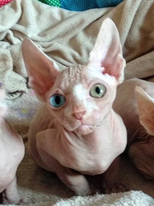 Tara female Sphinx kitten