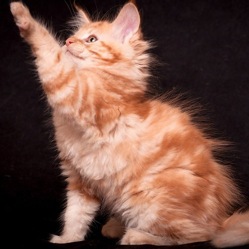 Daykiri Maine Coon red marble color female kitten