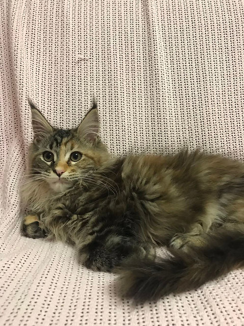 Xaby Maine Coon tortie color female kitten
