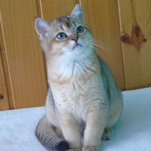 Chloe purebred British shorthair female kitten