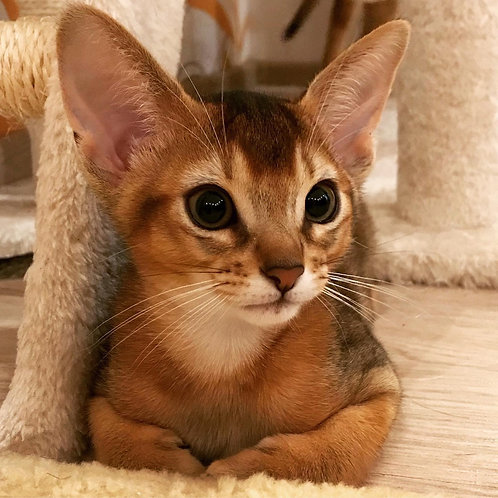 5 Benjamin   purebred Abyssinian male kitten