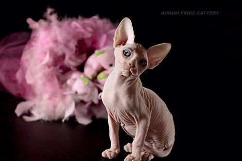 Fiona Pride Sphinx female kitten with blue eyes