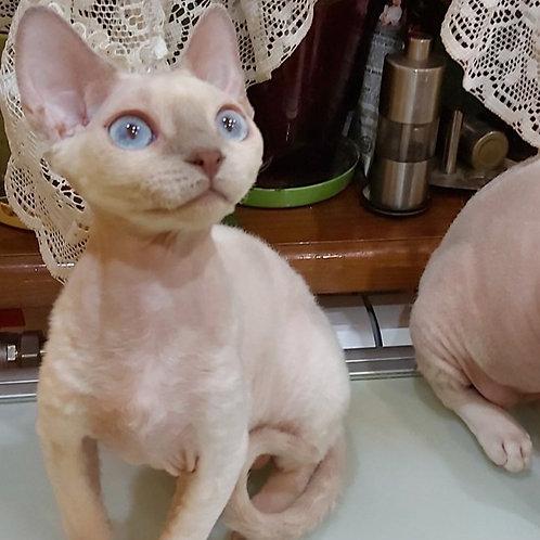 Karat Devon Rex kitten