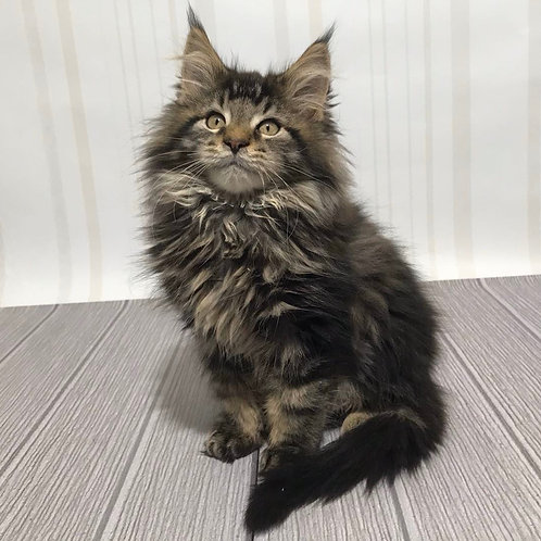 Alik Maine Coon kitten