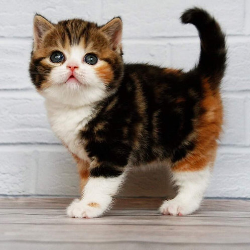 Elegant Cherry Scottish fold shorthair female kitten