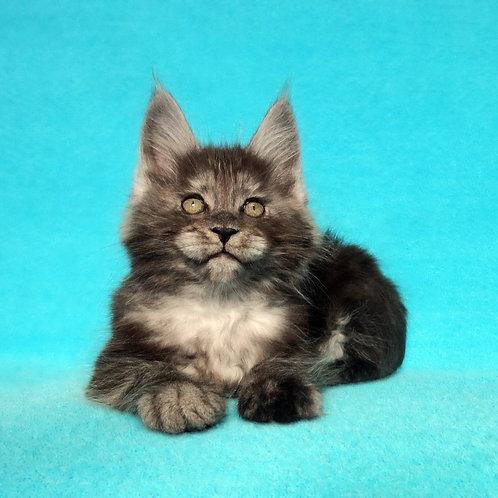 Eric   Maine Coon male kitten