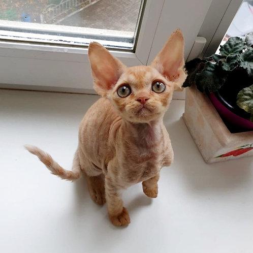 Oktavian male kitten Devon Rex