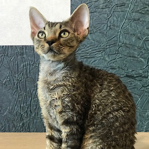 Harley black tabby male kitten Devon Rex