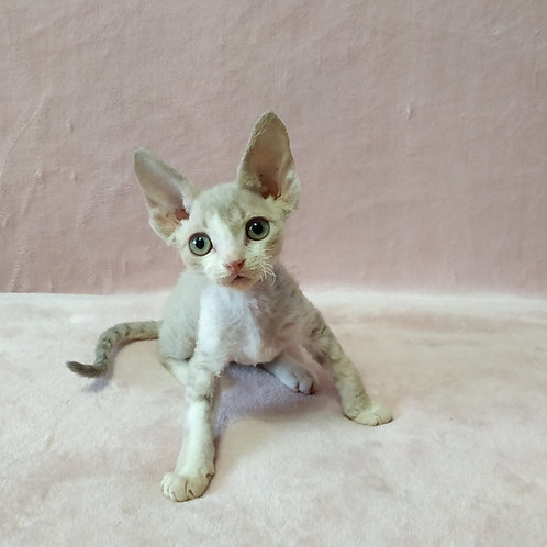 Bluedream blue tabby bicolor point color male kitten Devon Rex