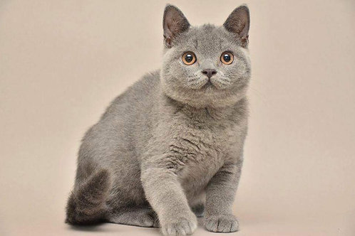 Chuck Norris British shorthair male kitten
