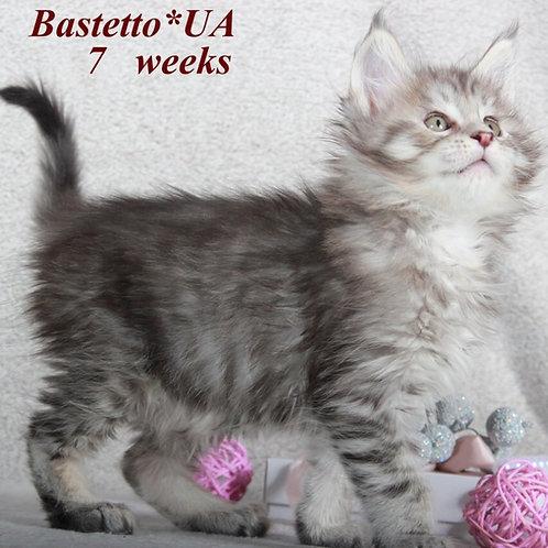 Elite Maine Coon black silver tabby color male kitten