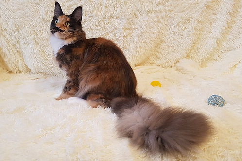 Astrid purebred tortie color female Maine Coon
