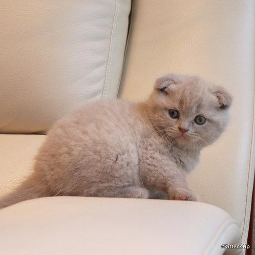Businka purebred Scottish fold kitten in a lilac color