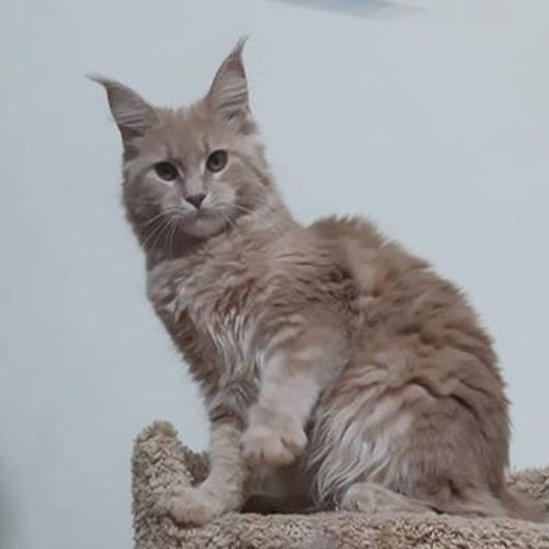Cleo Maine Coon creamy color female cat
