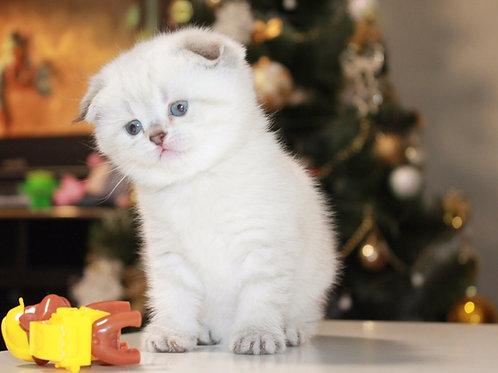 Anita Scottish fold shorthair female kitten