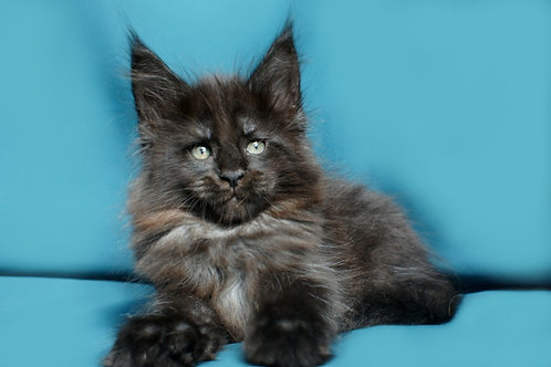 Misha purebred black silver color female Maine Coon