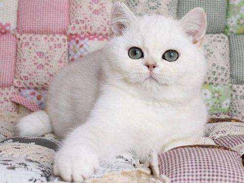 Oligarh purebred British shorthair male kitten