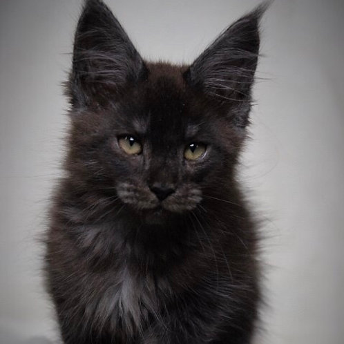 Mikhael Maine Coon in a black smoky color