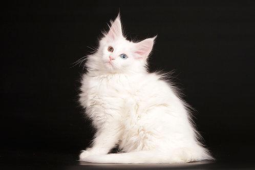 38 Jafra  Maine Coon female kitten