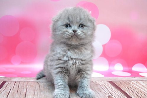 Daisy purebred Scottish fold semi-longhair in a blue color