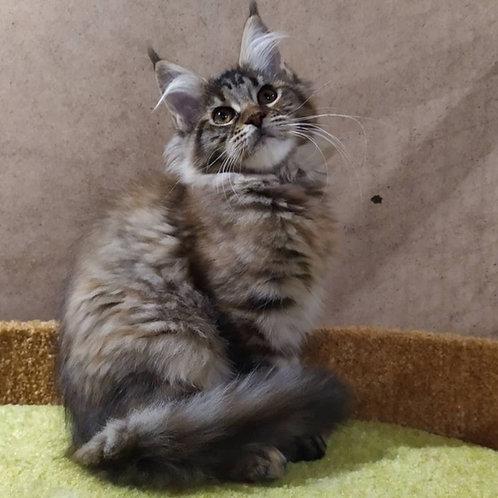 Hermione Maine Coon female kitten
