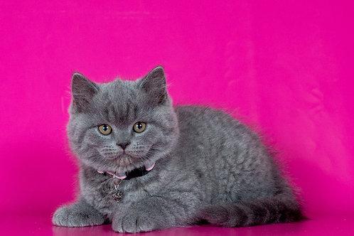 Dinamit British shorthair male kitten