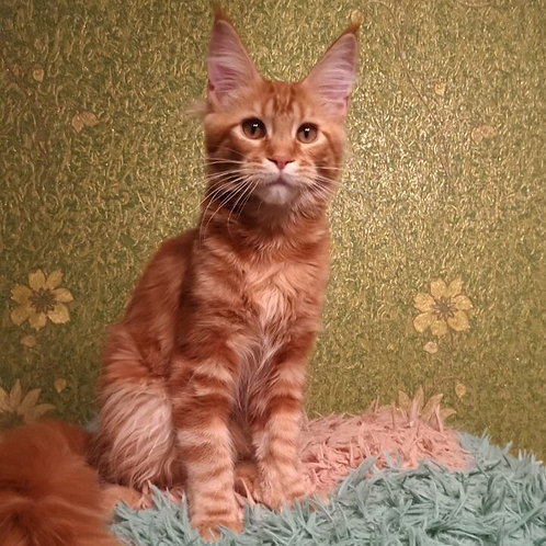 Golden heart Amur Maine Coon red tabby male kitten
