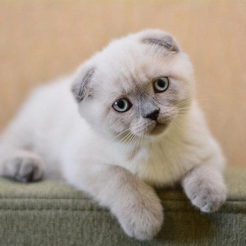 Dallas Scottish fold male kitten