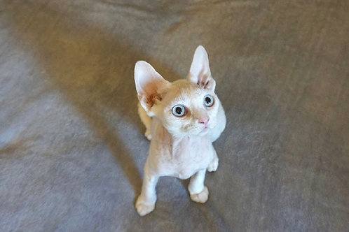 Evans white with blue eyes color male kitten Devon Rex