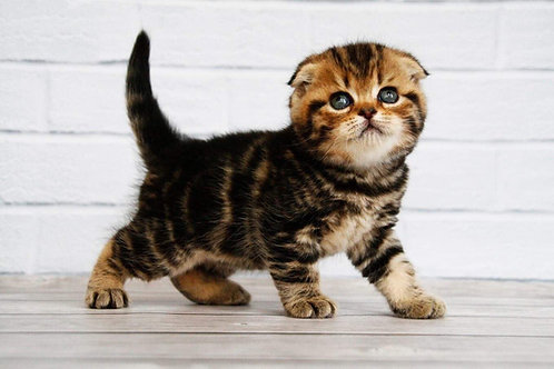 Facebook Scottish fold shorthair male kitten