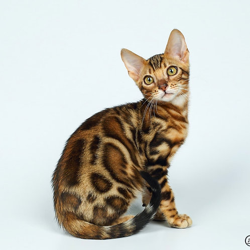 270 Kay purebred Bengal male kitten