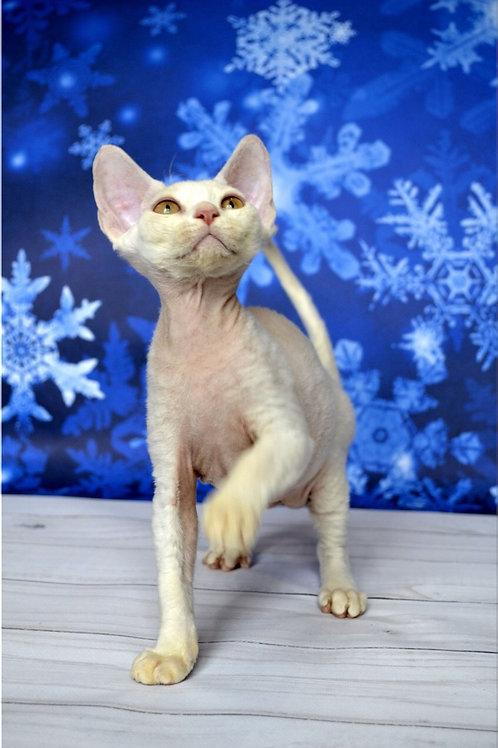 Mistbreeze Xagay Devon Rex male kitten in a white color