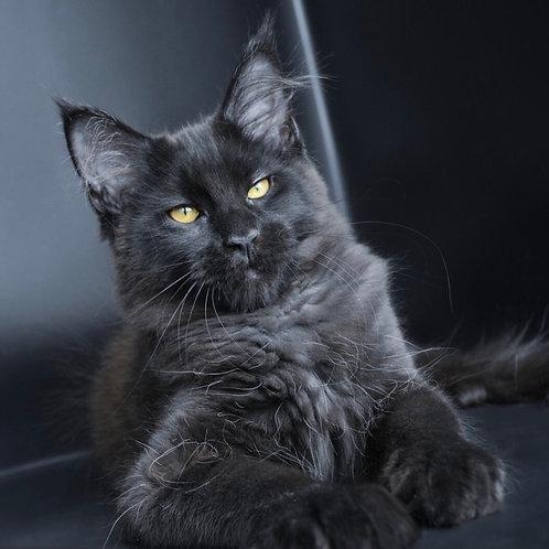 Tesla Maine Coon female kitten