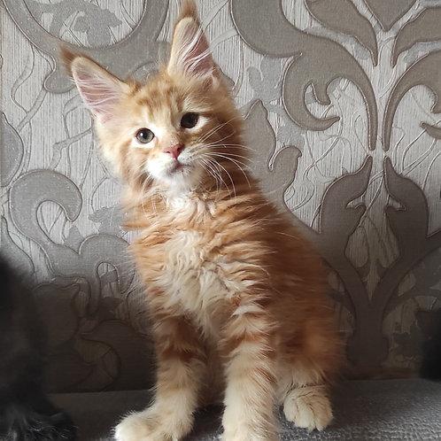 809 Zefir  Maine Coon male kitten