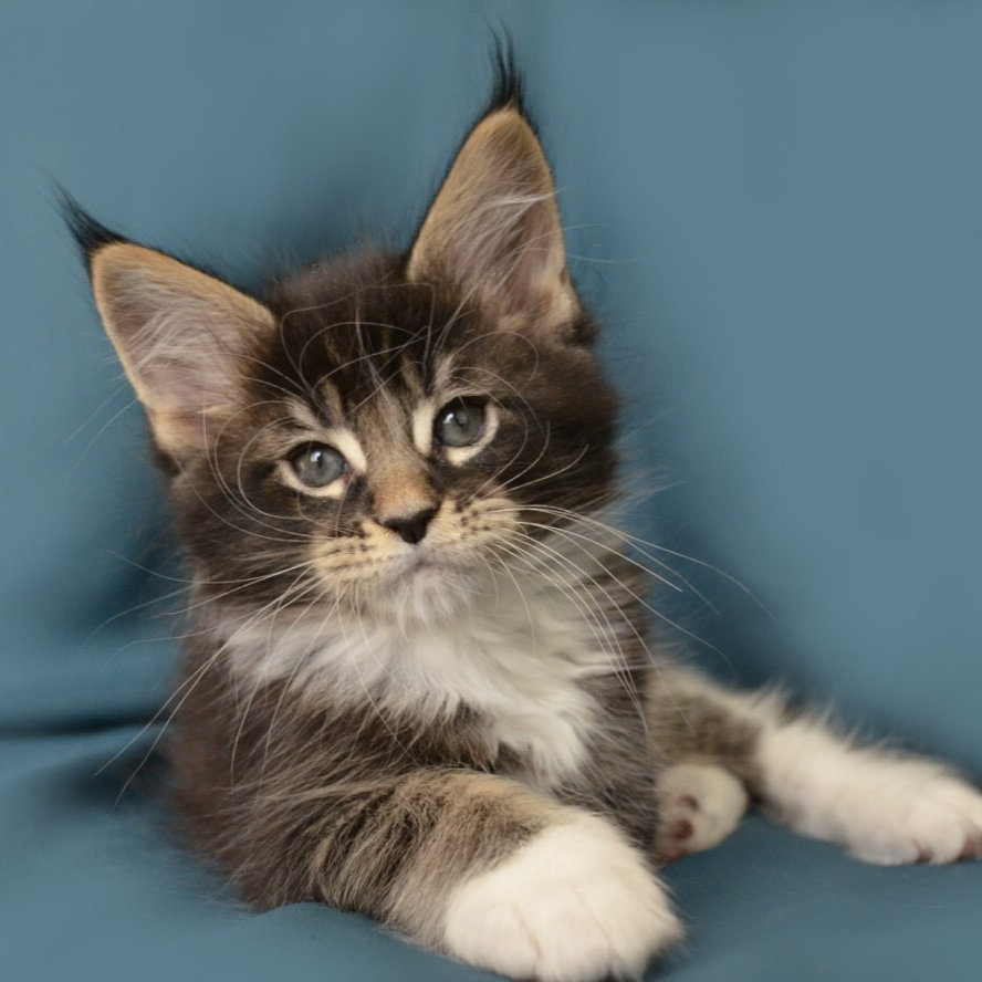 Boss Maine Coon black ticked color male kitten | Mysite1