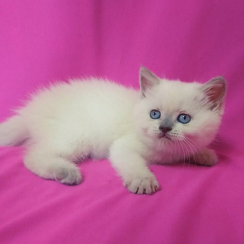 Afonya purebred Scottish straight in lilac point color