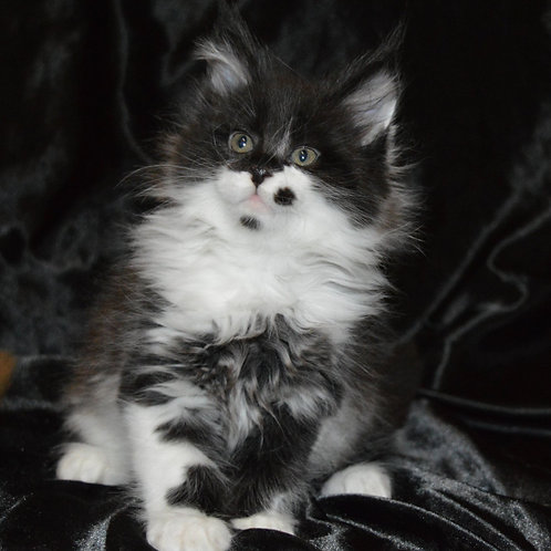 Alexander Maine Coon male kitten