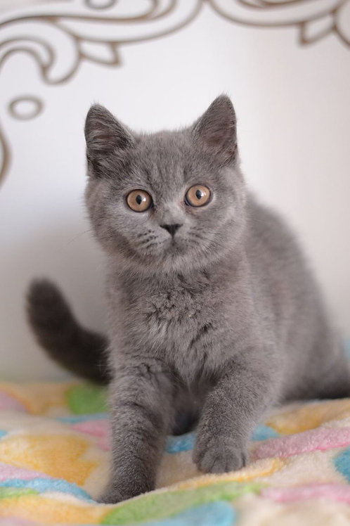 Samantha Scottish fold shorthair female kitten in a blue color