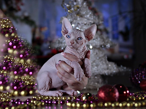 Sedric male Sphinx kitten