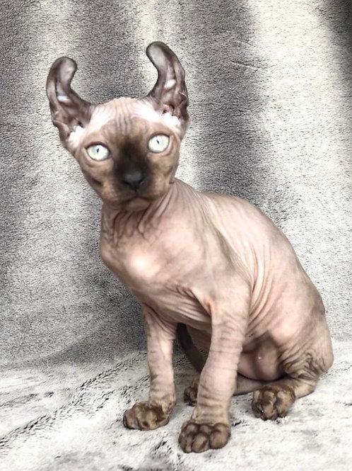 Nelson male Elf kitten