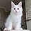 Thumbnail: 623 Archie Maine Coon male kitten