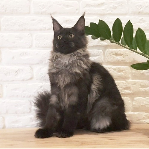 Ariana purebred Maine Coon female kitten in a black smoky color