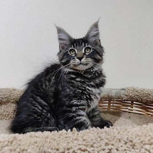 Nissan Maine Coon black tiger color male kitten